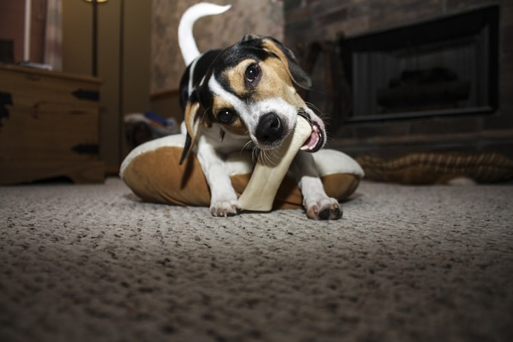 Nutrition for the Best Basset Hound