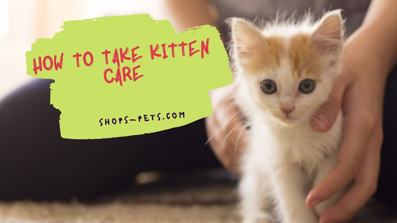 How to Take Kitten Care